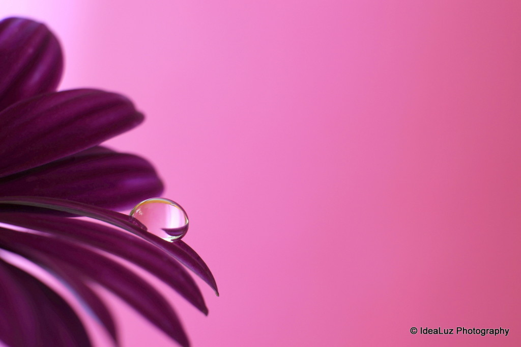 Droplet, drop, petal, flower, pink, purple, macro, Sony, Sigma, water