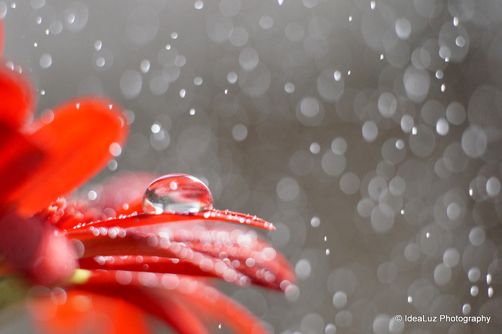 Droplet, drop, petal, flower, red, macro, Sony, Sigma, water, rain, effect, bokeh, refraction
