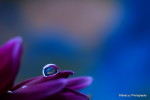 At the dawn of the earth - droplet water drop petal flower - Sony Sigma 60mm macro-iLHP